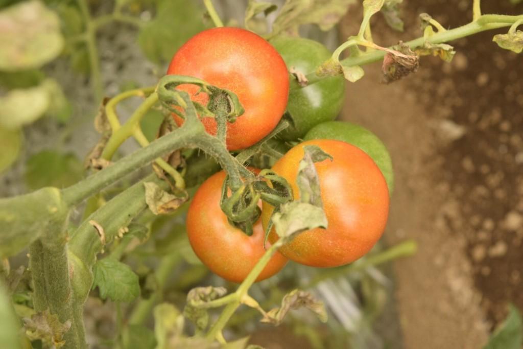 トマト収穫会